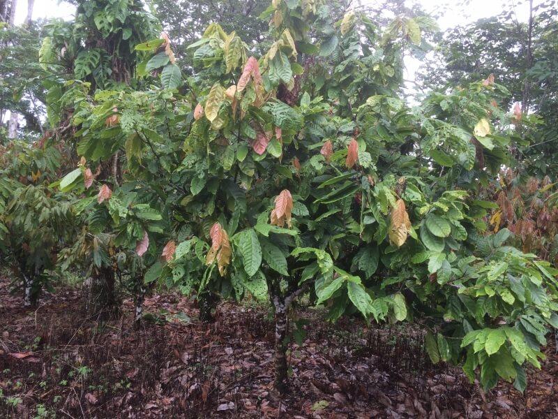 עץ קקאו