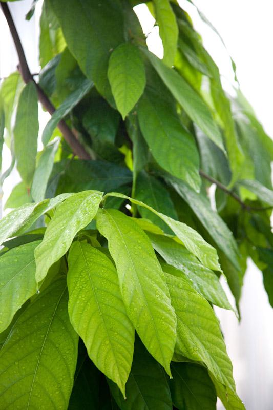 עלים של עץ הקקאו